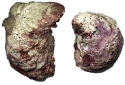 устрица, европейская устрица, европейская плоская устрица, съедобная устрица (Ostrea edulis), фото с сайта http://ecocrimea.by.ru/, фото, фотография