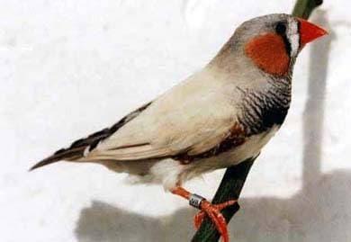 Зебровая амадина, фото фотография, птицы
