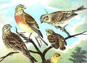 коноплянка, реполов (Acanthis cannabina), картинка рисунок