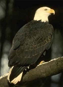 Белоголовый орлан, фото фотография, хищные птицы
