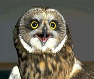 Болотная сова, фото фотография, птицы