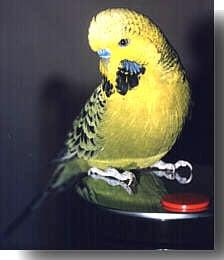 волнистый попугайчик (Melopsittacus undulatus), фото, фотография