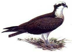 скопа (Pandion haliaetus), фото, фотография