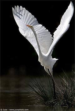 Белая цапля, цапля белая (Egretta alba), описание поведение ...