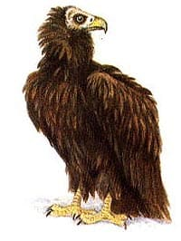 черный гриф, гриф черный (Aegypius monachus), картинка рисунок с http://nature.ok.ru