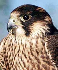 сапсан, сокол сапсан (Falco peregrinus), фото, фотография