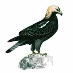 орел-могильник, могильник (Aquila heliaca), рисунок картинка