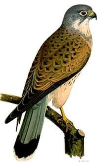 обыкновенная пустельга, пустельга обыкновенная (Falco tinnunculus), фото, фотография