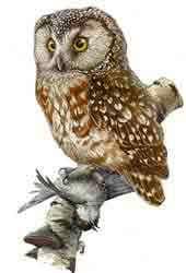 мохноногий сыч, сыч мохноногий (Aegolius funereus), картинка рисунок взята с fauna.ru