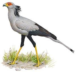 Птица секретарь птица секретарь sagittarius serpentarius  птица секретарь sagittarius serpentarius фото фотография