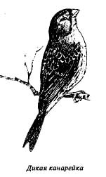 дикая канарейка (Serinus canaria), рисунок