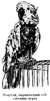 попугай, вырывающий собственные перья, самоощипывание