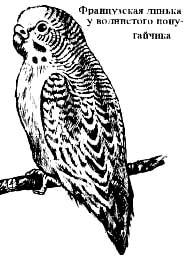 французская линька у волнистого попугайчика