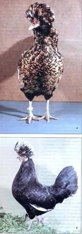 классификация пород кур по форме гребня: падуан золотистый, гудан пестрый, фото, фотография