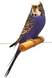 волнистый попугай, попугайчик, фото, фотография