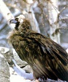 черный гриф, гриф черный (Aegypius monachus), фото, фотография