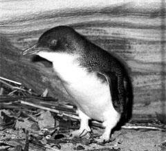 малый пингвин, пингвин малый (Eudyptula minor), фото, фотография