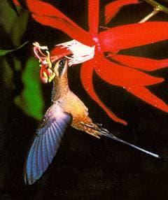 колибри, фото, фотография