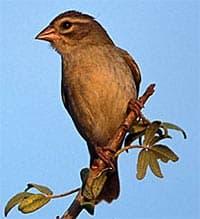 ткачик (Ploceus sakalava), фото, фотография