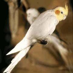 Эти птицы, родом из Австралии, оказались совершенно