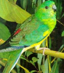поющий попугайчик, певчий попугай (Psephotus haematonotus), фото, фотография