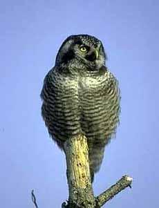 ястребиная сова, сова ястребиная (Surnia ulula), фото фотография