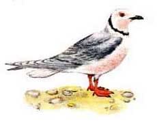 розовая чайка, чайка розовая (Rhodostethia rosea), фото, фотография