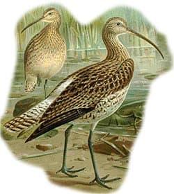большой кроншнеп, кроншнеп большой (Numenius arquata), фото, фотография с http://biologie.uni-hamburg.de