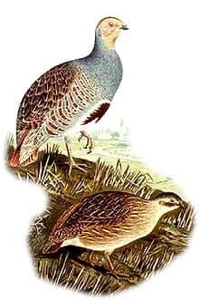 серая куропатка, куропатка серая (Perdix perdix), фото, фотография