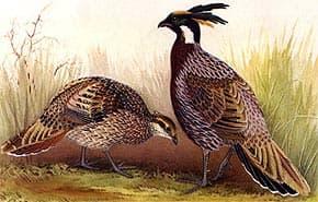 клинохвостый фазан, коклас (Pucrasia macrolophus), фото, фотография