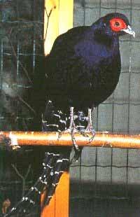 фазан Эллиота, Эллиота фазан (Syrmaticus ellioti), фото, фотография
