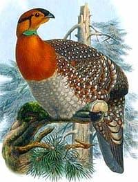 красноголовый фазан, фазан красноголовый (Tragopan blythii), фото, фотография