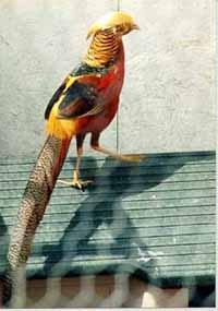 золотой фазан, фазан золотой, фото, фотография