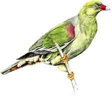зеленый голубь Рейхеноу, африканский зеленый голубь (Treron calva), фото, фотография