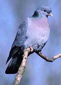 клинтух, голубь клинтух (Columba oenas), фото фотография, голуби птицы
