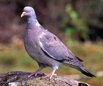 Вяхирь, витютень (Columba раlumbus), фото фотография, птицы голуби