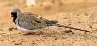 капская горлица, масковая горлица (Oena capensis), фото, фотография