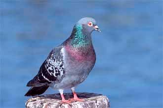 каменный голубь, сскалистый голубь, фото, фотка, фотография