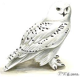 белая сова, полярная сова (Nyctea scandiaca), фото, фотография