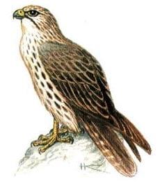 балобан (Falco cherug), сокол-балобан фото, фотография, фото с nature.ok.ru