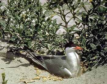 речная крачка, обыкновенная крачка (Sterna hirundo), фото, фотография