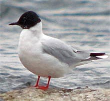 малая чайка, чайка малая (Larus minutus), фото, фотография с http://notason.com