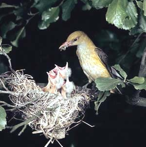 пение лесных птиц иволгa