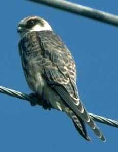 Кобчик, кобчик (Falco vespertinus) соколы, размер окраска голос ...
