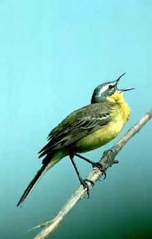 желтая трясогузка, трясогузка желтая (Motacilla flava), фото, фотография