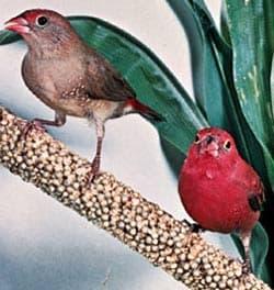 крошечный амарант, амарант крошечный (Lagonosticta senegala), фото, фотография