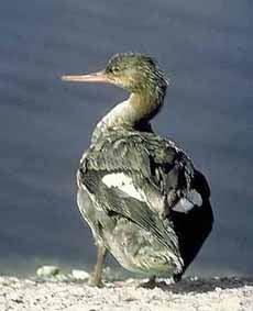 длинноносый крохаль, крохаль длинноносый (Mergus serrator), фото, фотография
