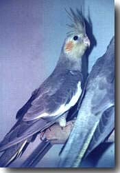 попугай корелла, нимфа, фото, фотография