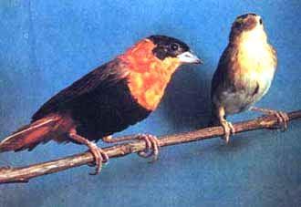 огненный ткачик, ткачик огненный (Euplectes franciscana), фото, фотография