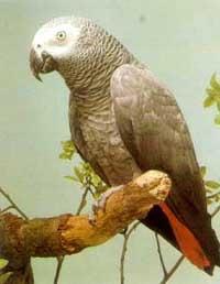 серый попугай, жако, фото, фотография